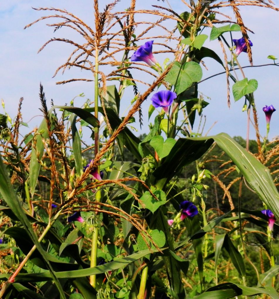 Corn Stalks and Morning Glory Vines