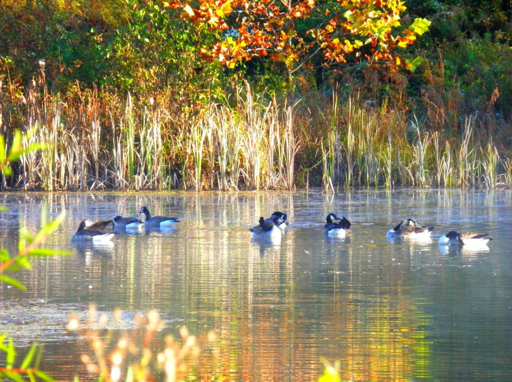 Video of Canadian Geese on Otter Pond at Sunrise