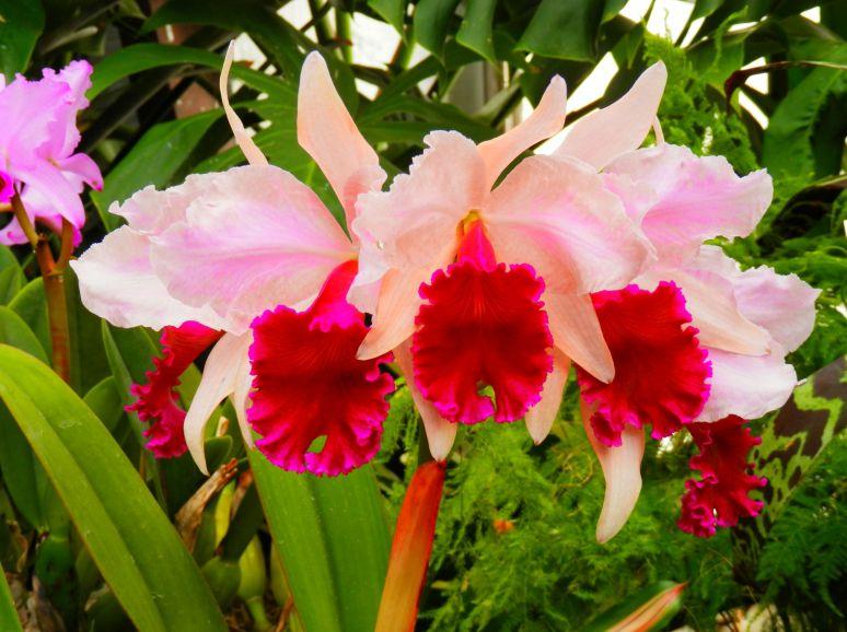 Biltmore Orchid 3