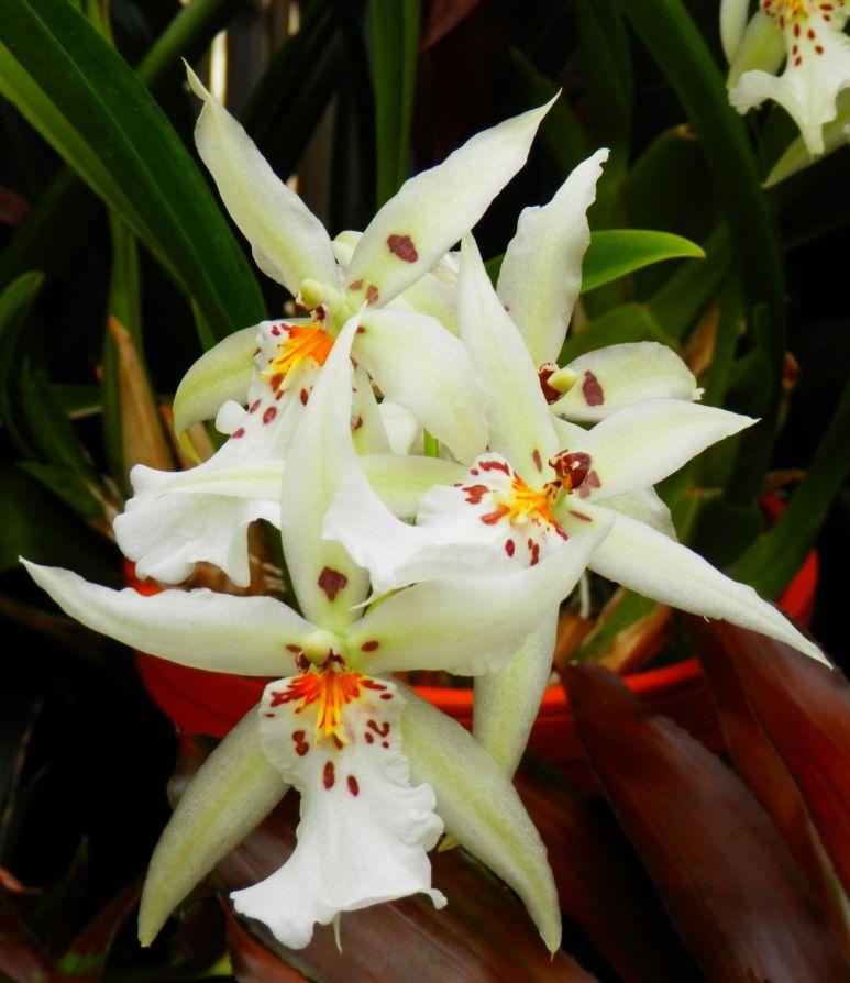 Biltmore Orchid 4