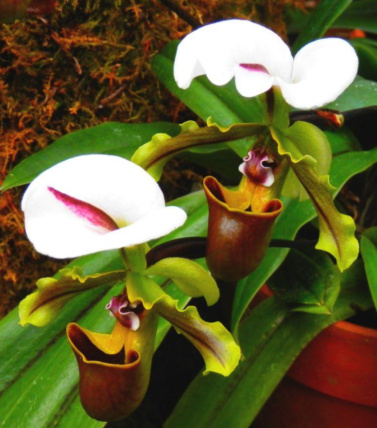 Biltmore Orchid 5