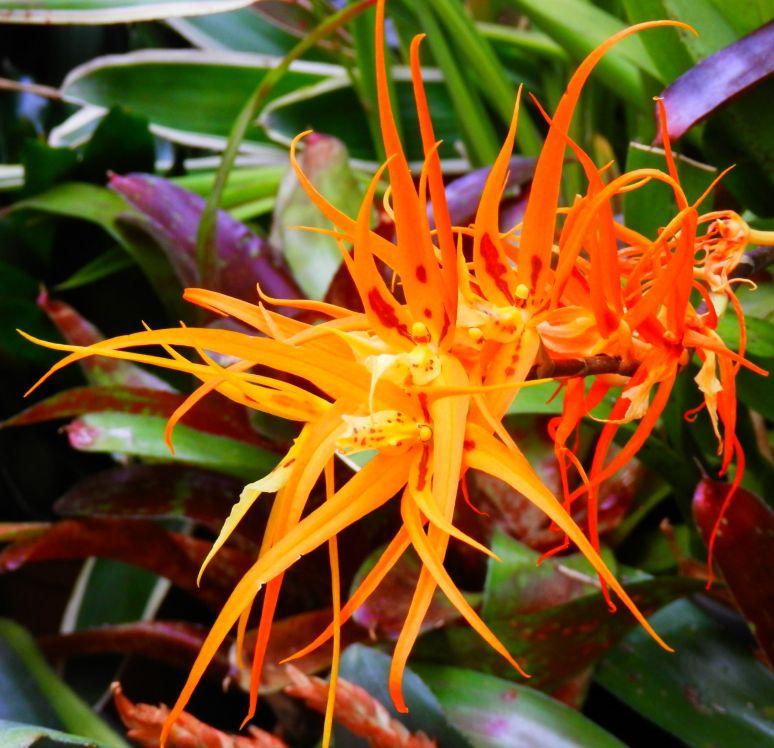 Biltmore Orchid 2