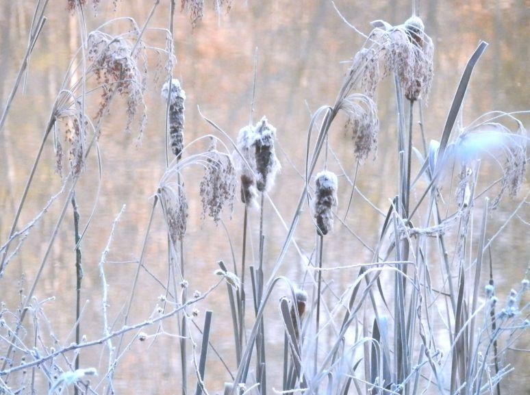 Cattail Frost