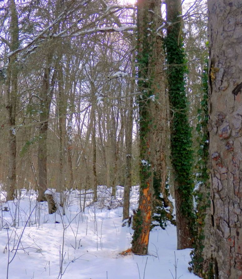 Sugar Mountain Snow Forest