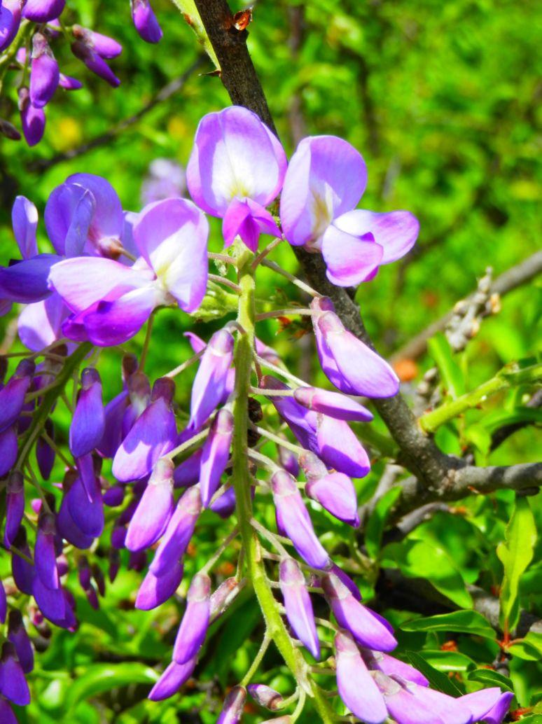 Wysteria Purple
