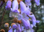 Empress Blossoms