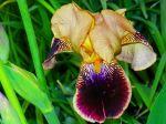 Biltmore Yellow Iris