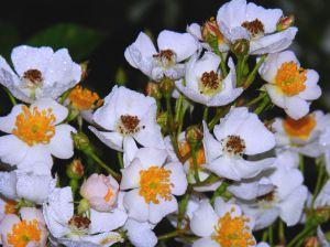 Wild Rose Cluster