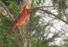 Cardinal in Hemlock