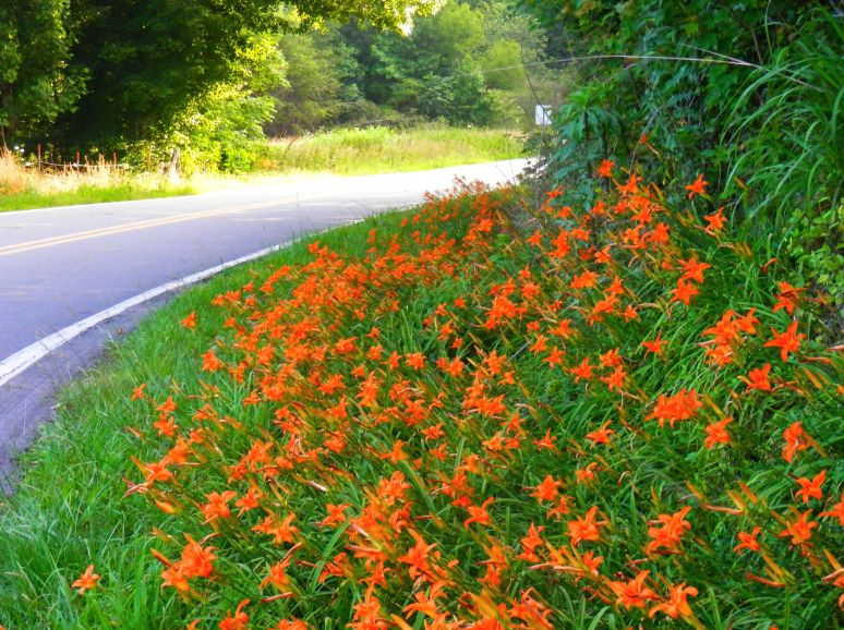 Tiger Lily Curve