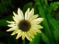 Yellow Corn Flower