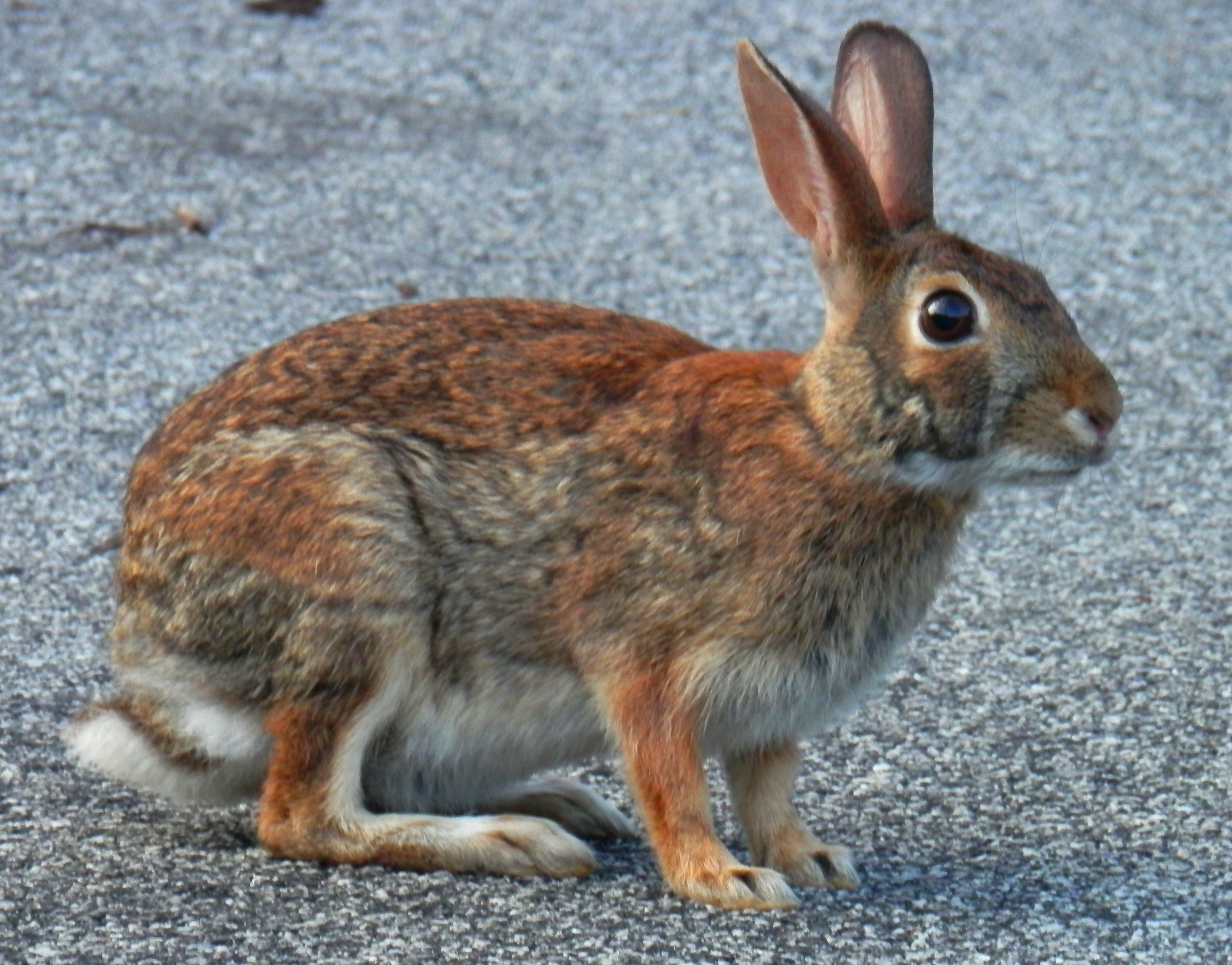Brown Rabbit | Living in The Blue Ridge Mountains of North ...