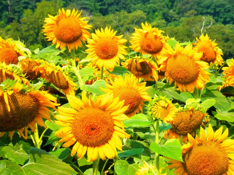 Biltmore Sunflowers