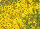 Narrow leaf sunflower meadow
