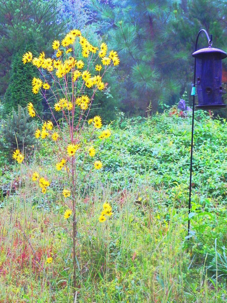 Narrow Leaf Sunflower Stalk