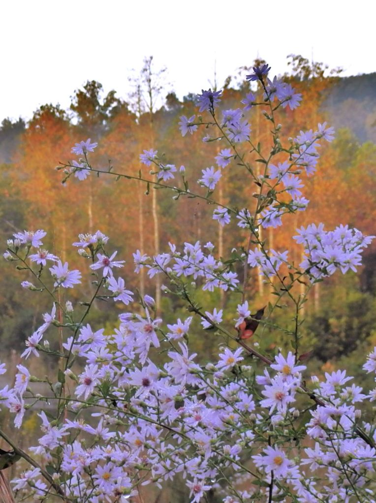 Wildflower Astor Sunrise