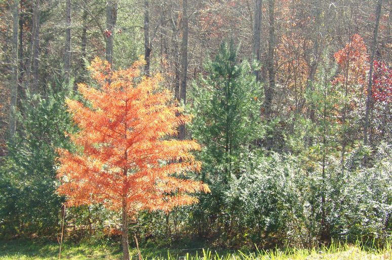 Bald Cypress in Autumn