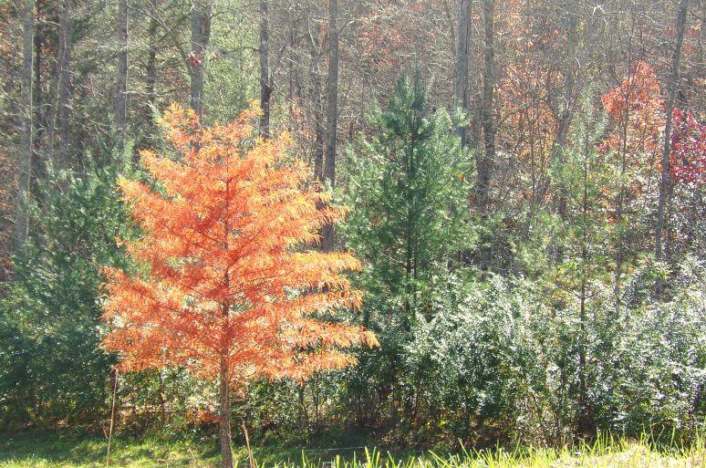 Bald Cypress in Autumn