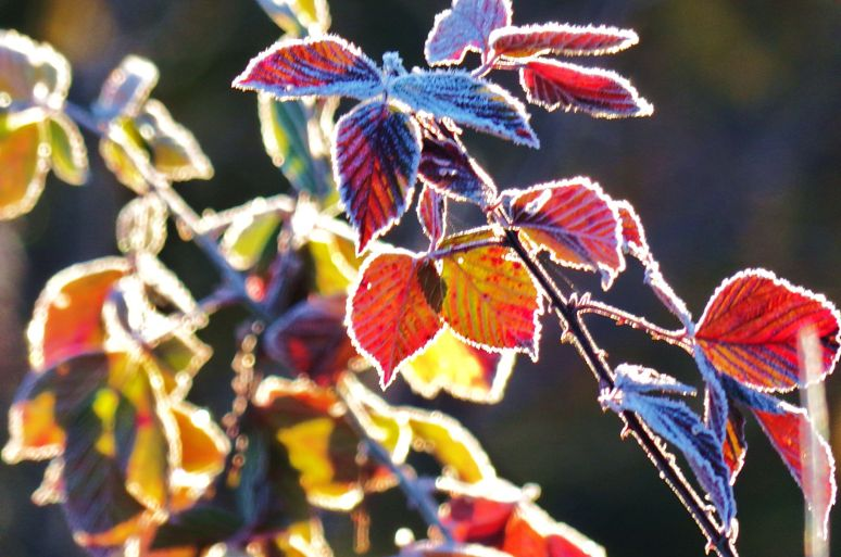 Frost Autumn Leaves