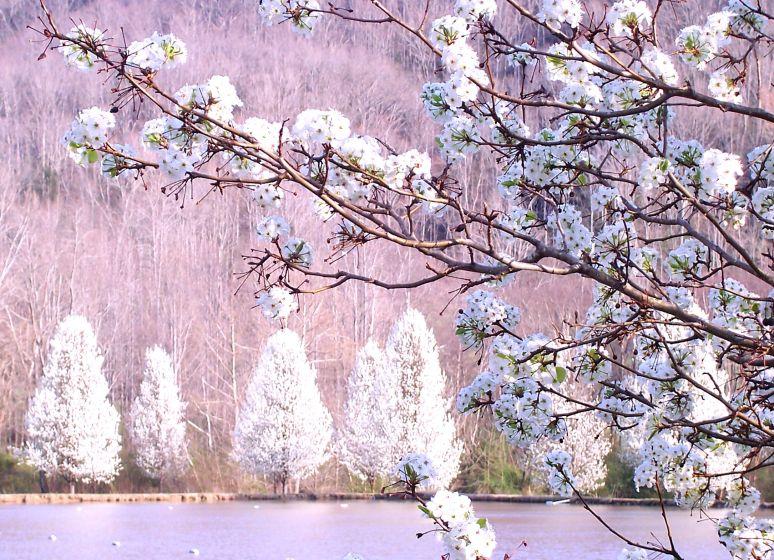 Bradford Pear in Spring