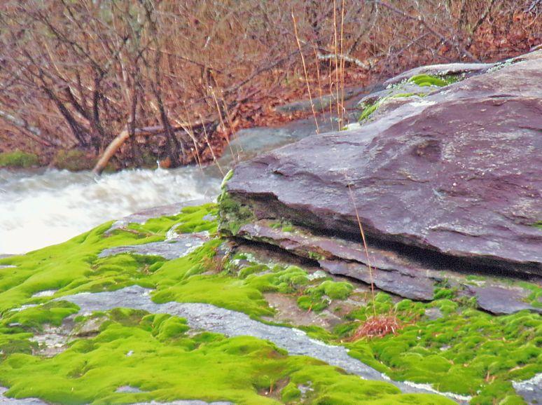 Cedar Creek Moss