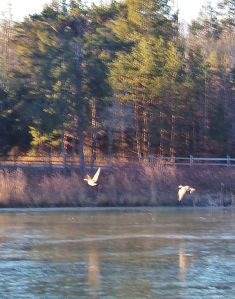 Geese Over Icy Pond