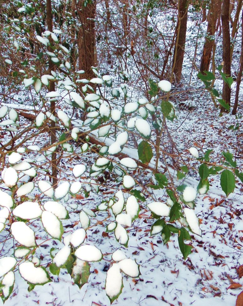 Snow on Holly Leaves