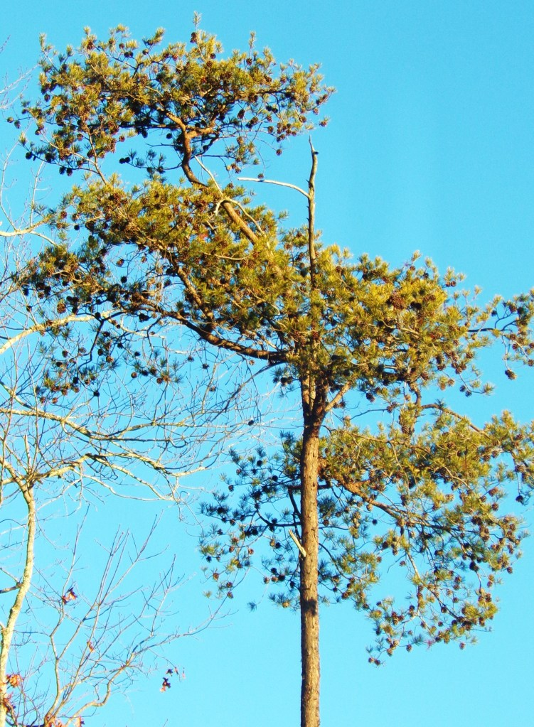 Virginia Pine Tall