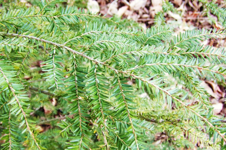 Hemlock Tree Detail