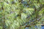 White Pine Detail