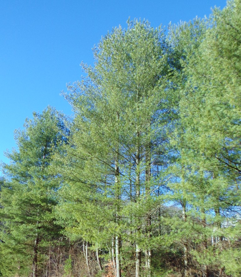 White Pine Windbreak