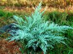 Angel Blue Juniper