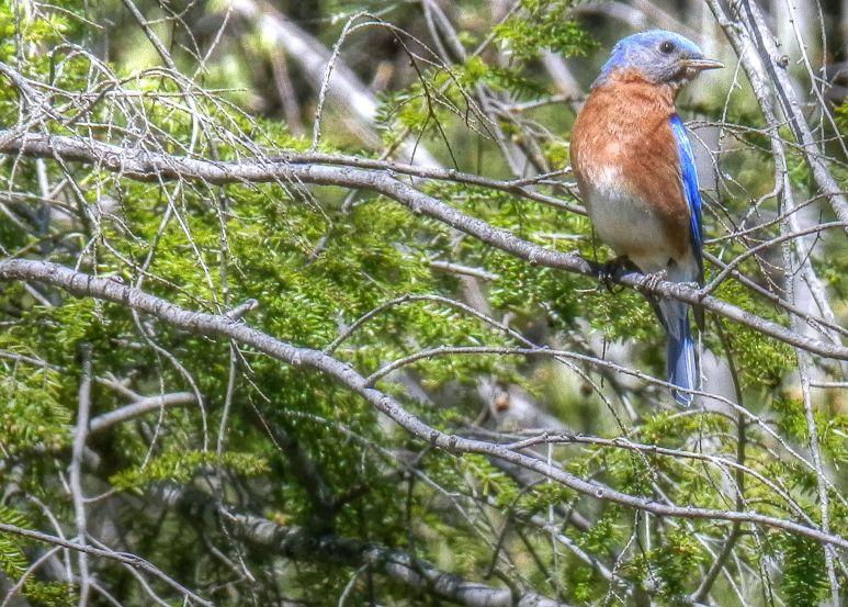 Hemlock Bluebird