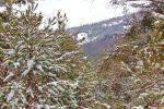 Virginia Pine Snow