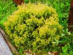 Rhinegold Arbor Vitae
