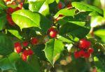 Holiday Holly Tree