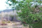 Red Cedar Leaflets