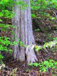 Red Cedar Trunk