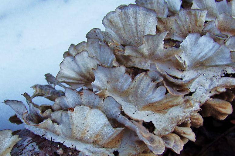 Turkey Tail Mushroom cluster