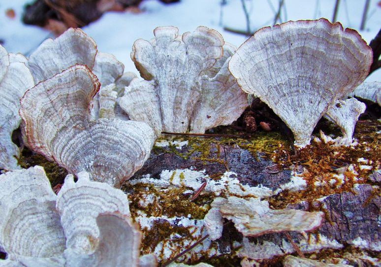 Turkey Tail Mushroom Colony