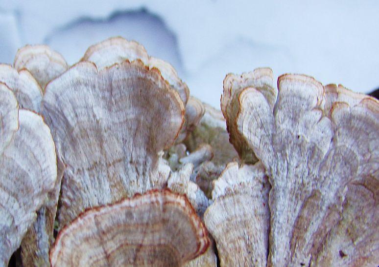 Turkey Tail Mushroom Conks