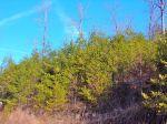 Virginia Pine Forest