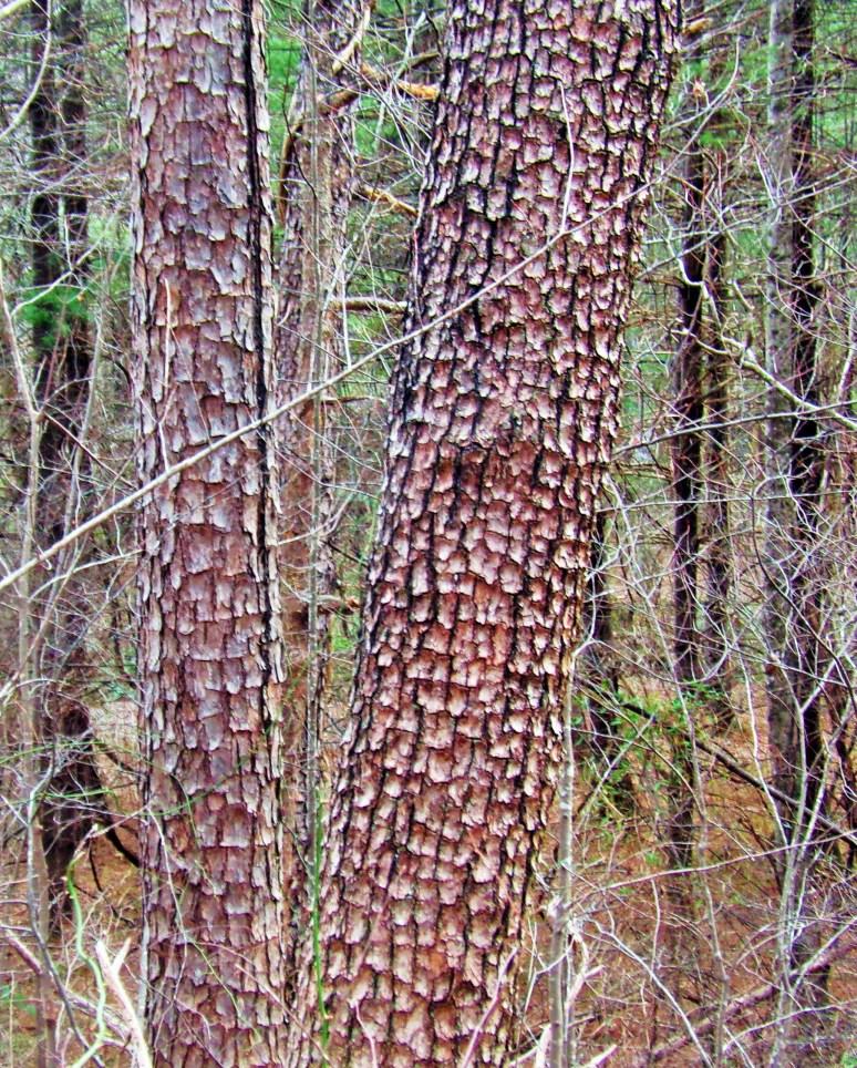 Old Virginia Pines