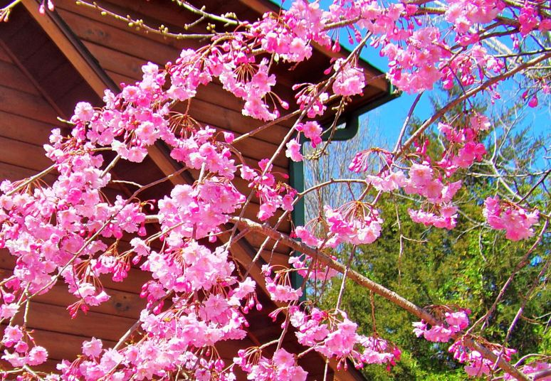 Kwansan Cherry
