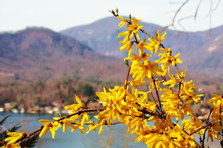 Lake Lure Forsythia