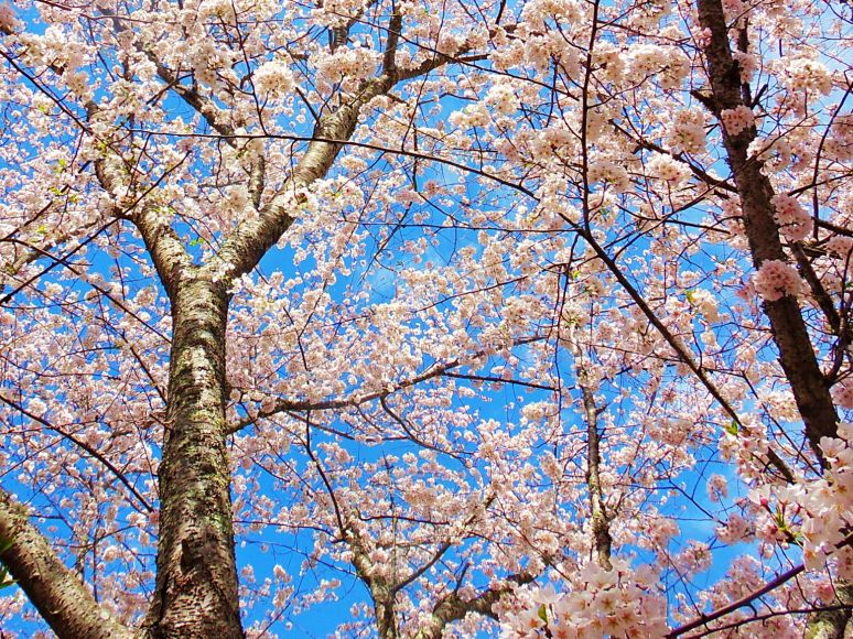 Apple Blossom Canopy