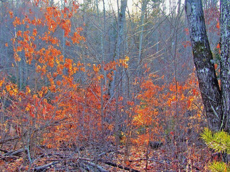 Winter Oak Leaves