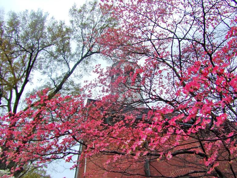 Charlotte Myers Park Pink Dogwood