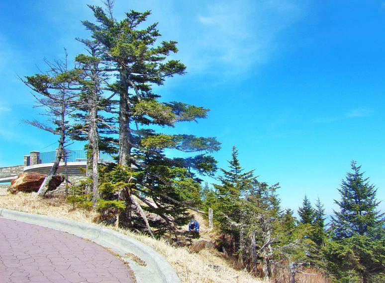 Mt. Mitchell Balsam Spruce