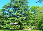 Madison, Ga., Cypress